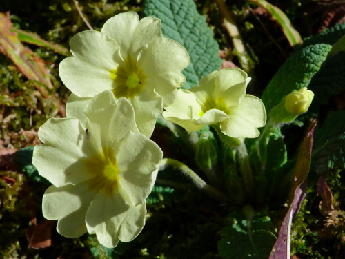 heartandsoil_primrose