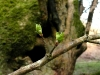 Hawthorn Bud Burst