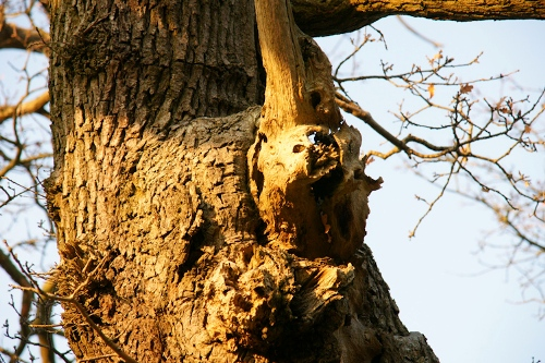 Love Trees - White Leaved Oak - ginbat 8