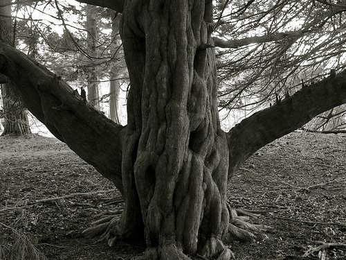 Love Trees - Twisty Yew - Nick Gallop 7