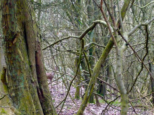 Love Trees - Roe Buck