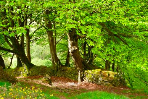 Exmoor beech hedgebank