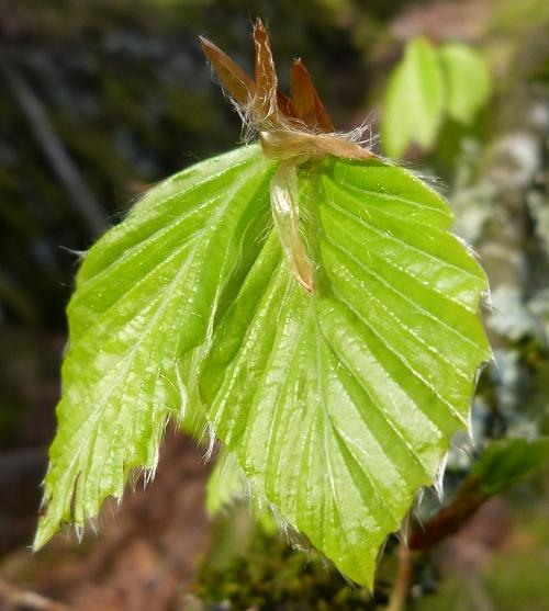 Fresh Beech leaf