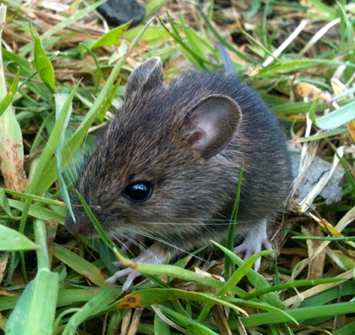 Baby Wood mouse - Apodemus sylvaticus