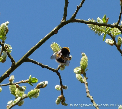 Bumble bee feeding on a Willow flower
