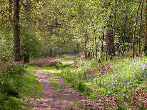 Nagshead Nature Reserve in the heart of Nelson's ancient Oaks in the Forest of Dean's Cannop Valley – home of Pied Flycatcher, Wood Warblers and Redstarts