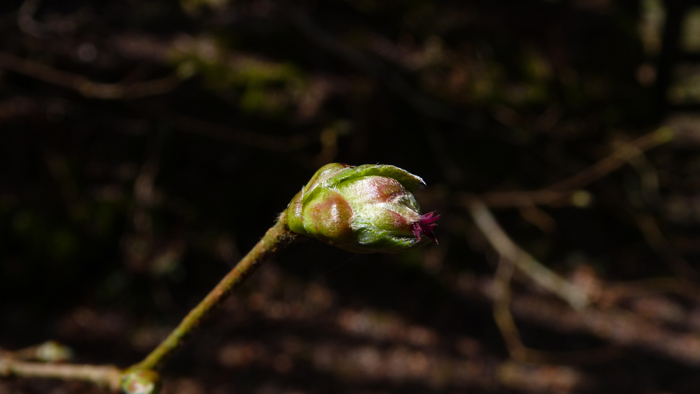 Heartandsoil_hazel_female_flower_bud_burst