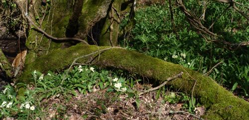 Heartandsoil_primrose_ramson_spring