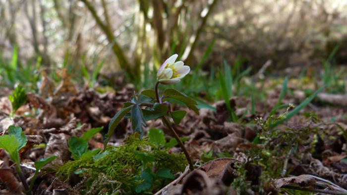 Heartandsoil_wind_flower_wood_anemone