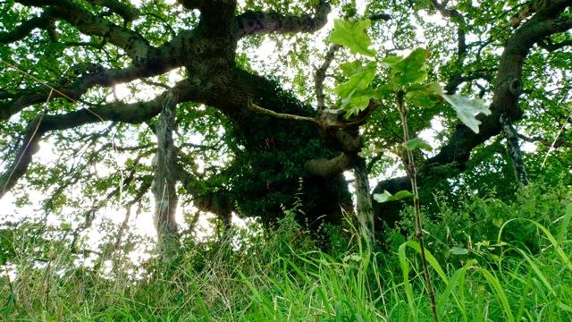 UpTrees 100 - Doomsday Oak