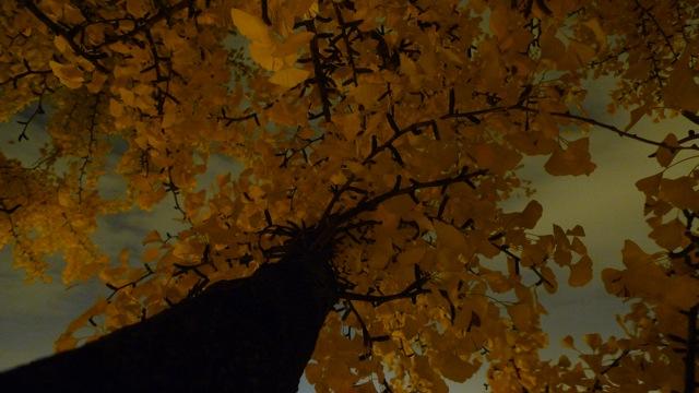UpTrees 169 - Ginkgo Star tree