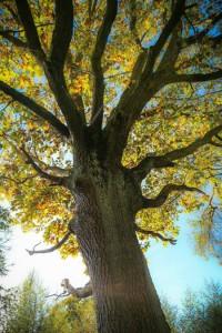 hopwas_wood_pollard_Oak